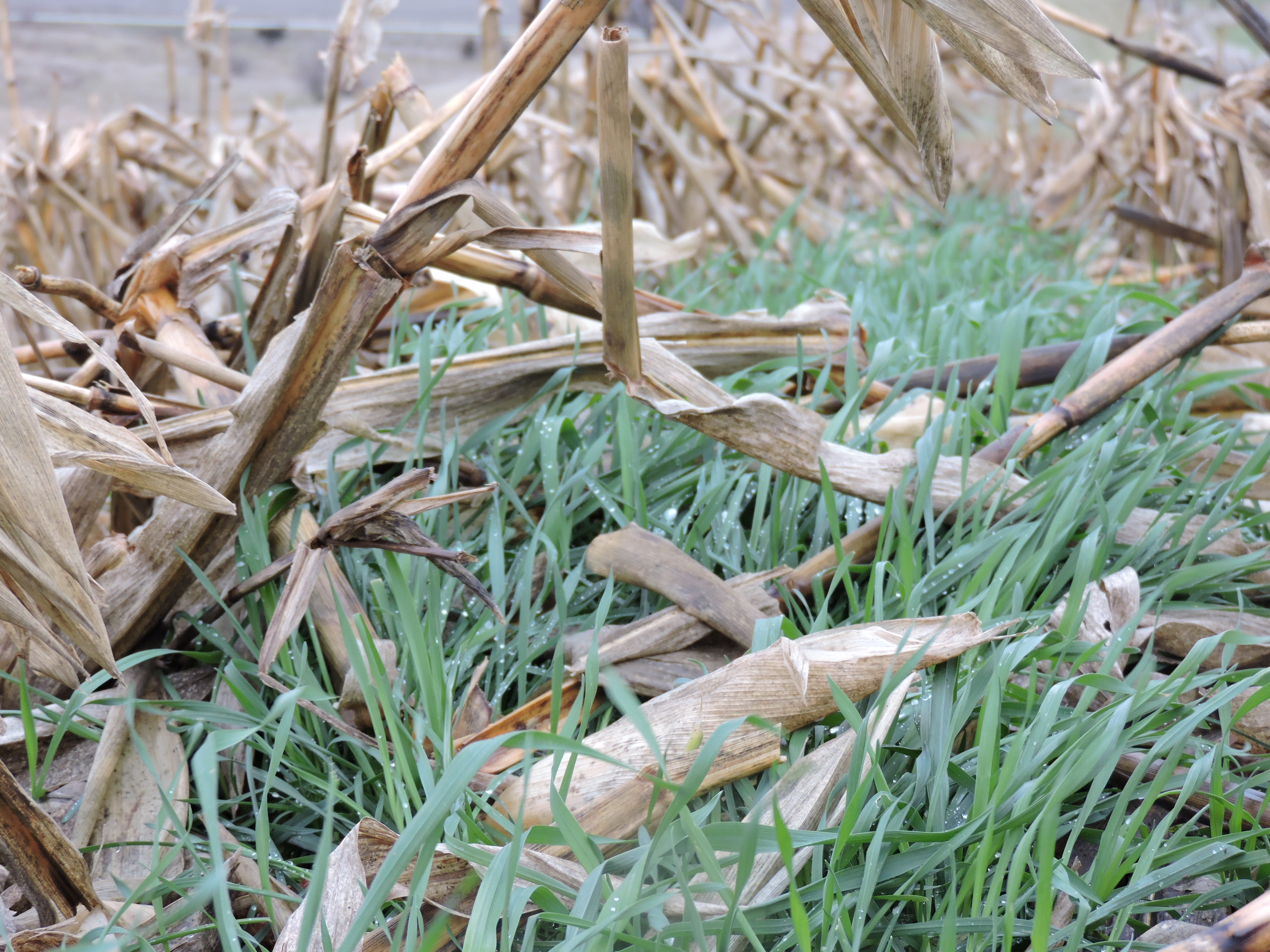 cereal rye at Lewis Research Farm 2015