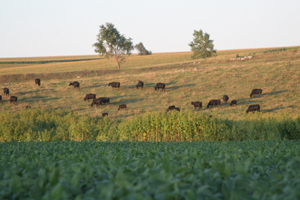 Cattle on the Ronsiek Farm